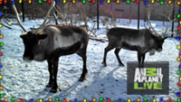 Reindeer on Animal Planet Live