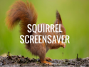 Squirrel Screensaver